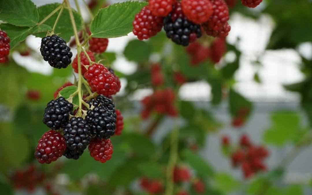 Distribution de petits fruits le weekend des 24 et 25 novembre